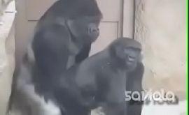 Animal sex gorilas fazendo sexo sendo filmados no zoologico